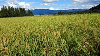 幻のお米さわのはなの田んぼ