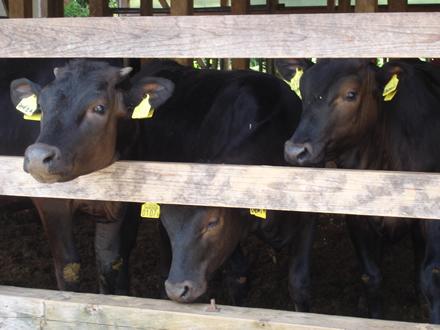 一切抗生物質を使わない、自然の飼料だけで育てたオーガニック牛