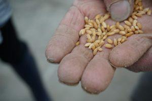 山形米作り種もみ